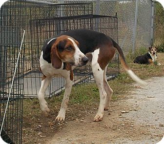 Treeing Walker Coonhound Dog for adoption in Lewisburg, Tennessee - Red Sox