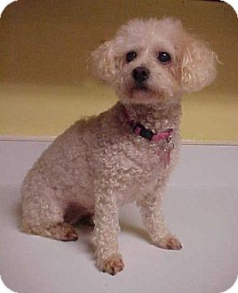 Poodle (Miniature) Dog for adoption in Dahlgren, Virginia - Buffy - 9 lbs