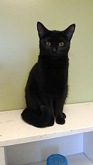 Domestic Shorthair Cat for adoption in Stevensville, Maryland - Tigger