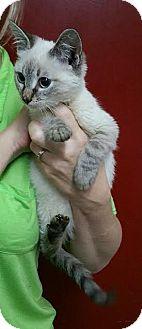 Domestic Mediumhair Cat for adoption in Sandersville, Georgia - Zeus