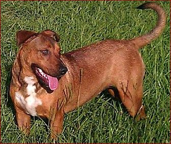 Labrador Retriever/Black Mouth Cur Mix Dog for adoption in Morriston, Florida - Cookie