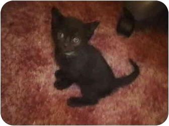 Siamese Kitten for adoption in Buffalo, New York - Ya-Chai (Sweetheart)