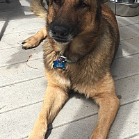 German Shepherd Dog Mix Dog for adoption in calimesa, California - Kiki