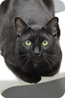 Domestic Shorthair Cat for adoption in Atlanta, Georgia - Shadow160233