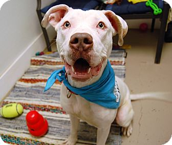 American Bulldog Mix Dog for adoption in Wilmington, Delaware - Frosty