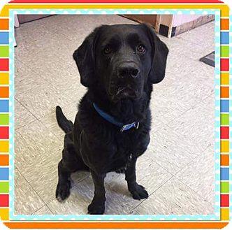 Labrador Retriever Dog for adoption in Columbia, Tennessee - Rosco