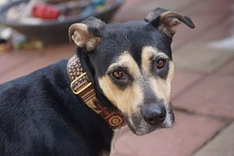 Hound (Unknown Type)/Cattle Dog Mix Dog for adoption in Holly Springs, North Carolina - Hester Prynne