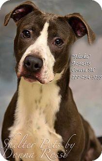 Pit Bull Terrier Mix Puppy for adoption in Newnan City, Georgia - Alaska