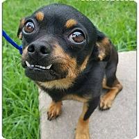 Adopt A Pet :: Teddy - Commerce, TX