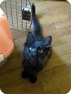 Maine Coon Kitten for adoption in Sherman Oaks, California - Nox
