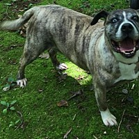 Boxer Mix Dog for adoption in Roxboro, North Carolina - Blue