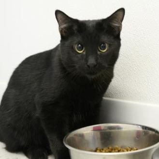 Domestic Shorthair/Domestic Shorthair Mix Cat for adoption in St. Petersburg, Florida - Inky