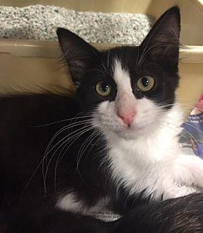 Domestic Shorthair Kitten for adoption in Boynton Beach, Florida - Diesel