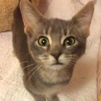 Domestic Shorthair/Domestic Shorthair Mix Cat for adoption in Verona, Wisconsin - Oliver