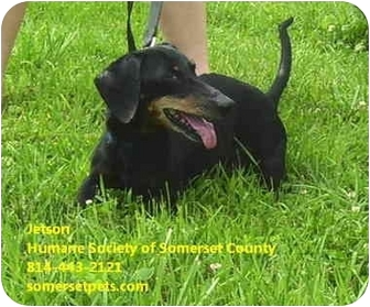 Dachshund Mix Dog for adoption in Somerset, Pennsylvania - Jetson