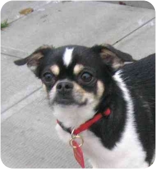 Chihuahua/Japanese Chin Mix Dog for adoption in Ile-Perrot, Quebec - TAZZ
