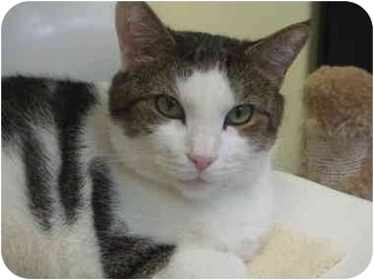 Domestic Shorthair Cat for adoption in Chicago, Illinois - Gentle Ben