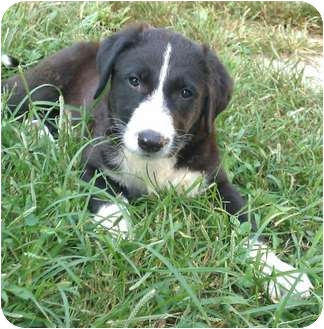 Labrador Retriever/Great Pyrenees Mix Puppy for adoption in Harrisonburg, Virginia - Sasparilla