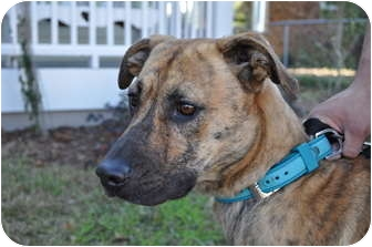 Shepherd (Unknown Type) Mix Dog for adoption in Parkton, North Carolina - Fred