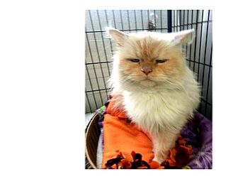 Himalayan Cat for adoption in North Kingstown, Rhode Island - MILO