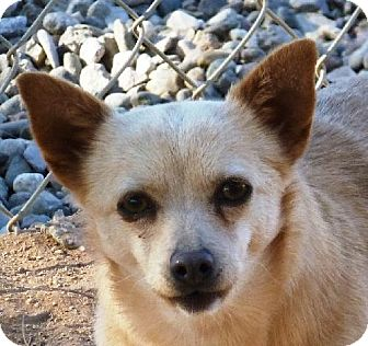 Chihuahua Mix Dog for adoption in Las Cruces, New Mexico - Porkchop