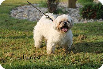 Shih Tzu/Poodle (Miniature) Mix Dog for adoption in Hibbing, Minnesota - FORREST