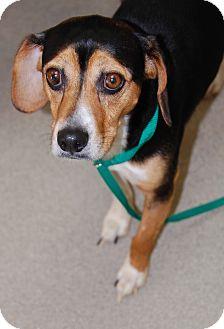 Beagle Mix Dog for adoption in Bucyrus, Ohio - Bagel