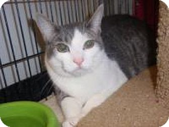 Domestic Shorthair Cat for adoption in East Brunswick, New Jersey - Rajah