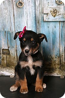 German Shepherd Dog Mix Puppy for adoption in Cranford, New Jersey - Hailey