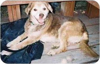 Cocker Spaniel/Beagle Mix Dog for adoption in Brigham City, Utah - Penelope