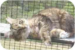 Domestic Longhair Cat for adoption in Lunenburg, Massachusetts - Jody