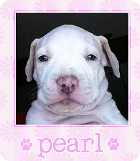 Dogo Argentino/Pit Bull Terrier Mix Puppy for adoption in Los Angeles, California - Pearl