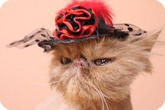 Persian Cat for adoption in Tucson, Arizona - Muffin