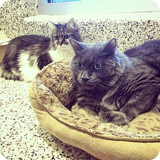 Domestic Shorthair Cat for adoption in Aiken, South Carolina - Honey