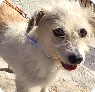 Cairn Terrier/Border Terrier Mix Dog for adoption in Boulder, Colorado - Daisy