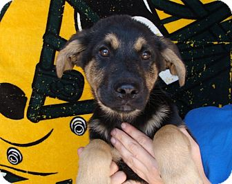 German Shepherd Dog/Golden Retriever Mix Puppy for adoption in Oviedo, Florida - Hero