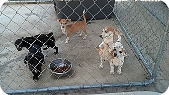 Dachshund Mix Puppy for adoption in Sandersville, Georgia - 146210 D