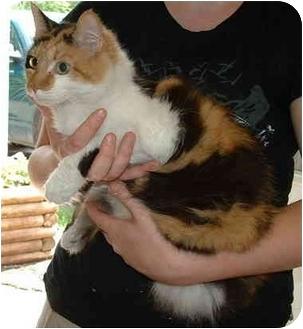 Domestic Longhair Cat for adoption in Honesdale, Pennsylvania - Tortalina