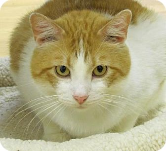 Manx Cat for adoption in Woodstock, Illinois - Rusty