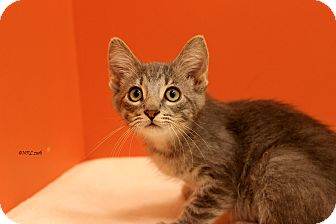 Domestic Mediumhair Kitten for adoption in Flushing, Michigan - Lothario