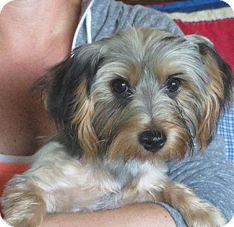 Yorkie, Yorkshire Terrier Puppy for adoption in Greenville, Rhode Island - Armond