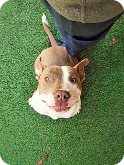 Pit Bull Terrier Dog for adoption in Dublin, California - Miracle