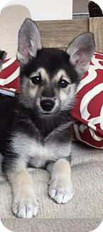 Husky/Shepherd (Unknown Type) Mix Puppy for adoption in Hagerstown, Maryland - Nate