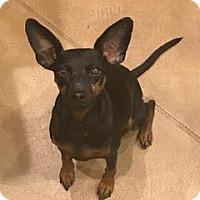Adopt A Pet :: Daphne - Tucson, AZ