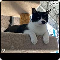 Adopt A Pet :: Buzz - Fallbrook, CA