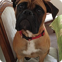 Adopt A Pet :: Callie - Rigaud, QC
