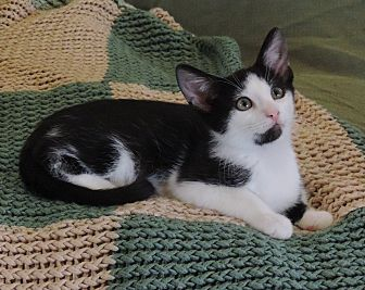 Domestic Shorthair Cat for adoption in Plano, Texas - KRAGLIN-WANTS A FAMILY TO LOVE