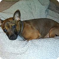 Adopt A Pet :: Scrappy - Shawnee Mission, KS