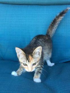 Domestic Shorthair/Domestic Shorthair Mix Cat for adoption in Santa Cruz, California - Clara