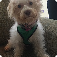 Adopt A Pet :: Phoebe - Thousand Oaks, CA